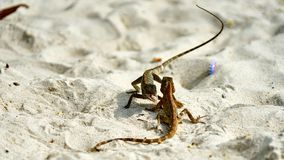 Two male lizards fight on sand. Pangan. Thailand royalty free stock photography