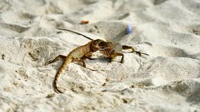Two male lizards fight on sand. Pangan. Thailand royalty free stock photo