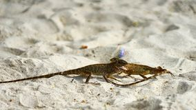 Two male lizards fight on sand. Pangan. Thailand royalty free stock image