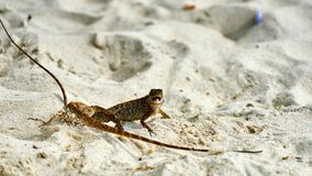 Two male lizards fight on sand. Pangan. Thailand stock image