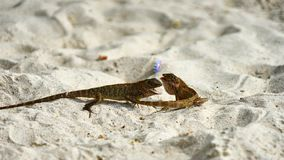 Two male lizards fight on sand. Pangan. Thailand stock photography