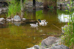 Two Male Mallard Ducks and Female Mallard Duck floating on a pon Stock Photo