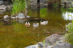 Two Male Mallard Ducks and Female Mallard Duck floating on a pon. D at summer time. Mallard - a bird from the family of ducks detachment of waterfowl. The most Stock Image