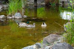Two Male Mallard Ducks and Female Mallard Duck floating on a pon. D at summer time. Mallard - a bird from the family of ducks detachment of waterfowl. The most Stock Photos
