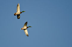 Two Male Mallard Ducks Flying in a Blue Sky Royalty Free Stock Images