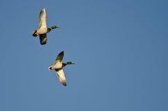 Two Male Mallard Ducks Flying in a Blue Sky. Two Male Mallard Ducks Flying in a Clear Blue Sky Royalty Free Stock Images
