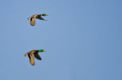 Two Male Mallard Ducks Flying in a Blue Sky. Two Male Mallard Ducks Flying in a Clear Blue Sky Stock Photos