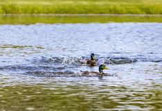 Two Male Mallard Ducks Making Waves Stock Photo