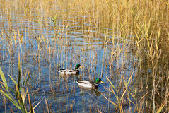 Two male mallard ducks in the reed. Of a lake Stock Photos