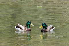 Two male mallard ducks swimming in water. Two Male Mallard duck swimming in a green reflective pond. Unlike many waterfowl, mallards are considered an invasive Stock Image