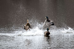 Two male mallards fight over female Stock Photos