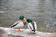 Two male mallards grooming each other Royalty Free Stock Photos