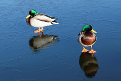 Two male mallards on ice Royalty Free Stock Photo