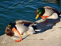 Two ducks scratching their head on the side of a pond. Two male mallards in a line scratching itch Stock Photo