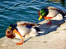 Two ducks scratching their head on the side of a pond. Two male mallards in a line scratching itch Stock Photos