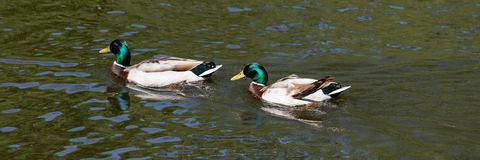 Two male mallards anas platyrhynchos swim in the water stock photo