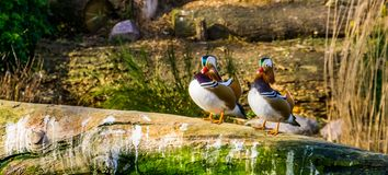 Two male mandarin ducks standing on the water side together, tropical birds from Asia. Two male mandarin ducks standing on the water side together, some tropical stock image