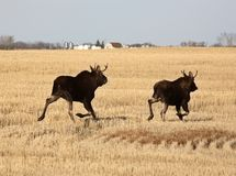 Two male moose Stock Image