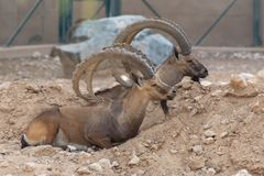 Two Male Nubian Ibexes at the Al Ain Zoo relaxing in the desert sand with impressive horns capra nubiana royalty free stock photo
