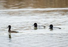 Lesser Scaup. Two male and one female Lesser Scaup swim in the waters of Market Lake near Roberts, Idaho Royalty Free Stock Photography