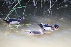 Two male and one female wood duck swimming in a muddy stream. With grass and straw on the edge Royalty Free Stock Photo