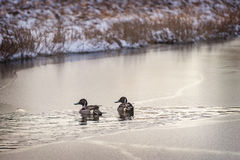 Two Male Pintail Ducks on a Frozen Pond Royalty Free Stock Images