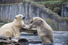 Two male polar bears fight and bite. Polar bears close up . Alaska, polar bear. Big white bear in the spring in the forest . Polar. Polar bears is in Alaska stock photos