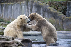 Two male polar bears fight and bite. Polar bears close up . Alaska, polar bear. Big white bear in the spring in the forest . Polar Stock Photo