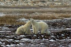 Two male polar bears fighting Stock Photos