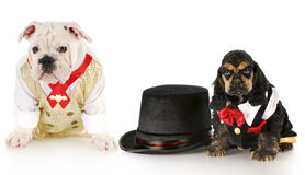 Two male puppies Royalty Free Stock Image