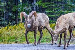 Big horn rams on the move, Spray Valley Provincial Park, Alberta, Canada. Two male rams on the move along the road in search of food Royalty Free Stock Photography