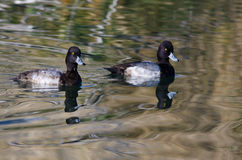 Two Male Scaup Ducks Swimming in the Pond Waters. Two Male Scaup Ducks Swimming in the Still Pond Waters Royalty Free Stock Photos
