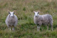 Two male sheep rams posing to the camera. Two male sheep rams in gray color, with curved horns. Standing on a green field posing to the camera Royalty Free Stock Image