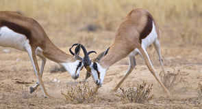 Two male Springbok fighting. Head to head, with locked horns in the Kalahari Desert, South Africa Royalty Free Stock Images