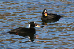 Two Male Surf Scoters. On Puget Sound Stock Images