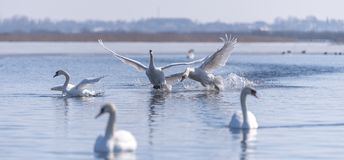 Two male swans. Cygnus olor, during a fight for supremacy in mating season on the River Stock Photo