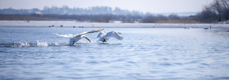 Two male swans. Cygnus olor, during a fight for supremacy in mating season on the River Royalty Free Stock Image