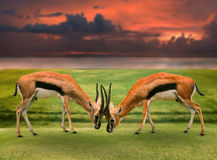 Two male thomson's gazelle fighting by horn in green grass field. Against beautiful landscape Royalty Free Stock Image