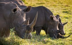 A row of three male white rhino in the South African grassland. Two male white rhino and a juvenile feeding in the South African grasslands Royalty Free Stock Image