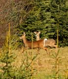 Two Male Whitetail Deer With Antlers. Two, male white-tailed deer near Sussex, Kings County, New Brunswick, Canada Stock Photos