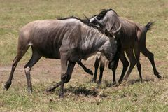 Territorial Wildebeest Fighting on the Serengeti Royalty Free Stock Photography