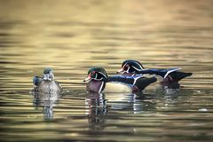 Two male wood ducks trying for female. Two male wood ducks compete for a female at Cannon Hill Park in Spokane, Washington Stock Photo