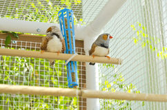 Two Male Zebra Finches in the Cage. A handsome male zebra finch sitting on a perch in a cage Royalty Free Stock Photo
