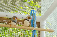 Two Male Zebra Finches in the Cage Royalty Free Stock Image
