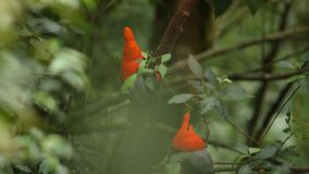 Two Males of Andean Cock-of-the-rock Rupicola peruvianus lekking and dyplaing on branch and waiting for females, Ecuador. Two Males of Andean Cock-of-the-rock stock video footage
