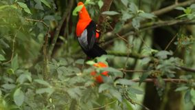 Two Males of Andean Cock-of-the-rock Rupicola peruvianus lekking and dyplaing on branch and waiting for females, Peru. Two Males of Andean Cock-of-the-rock stock video