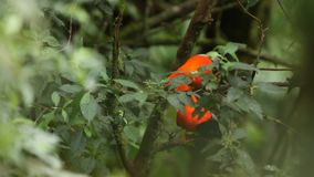 Two Males of Andean Cock-of-the-rock. Rupicola peruvianus lekking and dyplaing on branch and waiting for females, beautiful orange bird in its natural stock footage