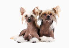 Two males Chinese Crested Dog Royalty Free Stock Photos