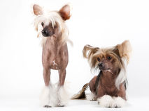 Two males of Chinese Crested Dog royalty free stock image