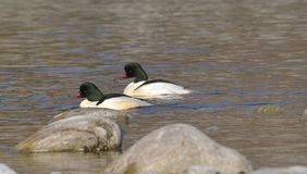 Two males of common merganser who are still on the river. Among big gray boulders royalty free stock images